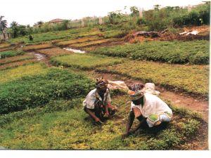 在田间劳作的妇女