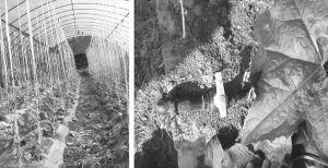 图4-2 新技术的农业生产:蔬菜大棚与滴灌技术