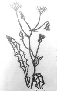 图8 羊奶草,又名卧龙草、鹅郎草