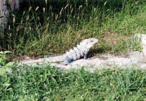 大蜥蜴成了古迹的主人