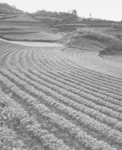 图1-8 河源村种植的漫山遍野的玛卡