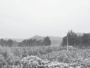 图2-3 土桥村晚秋黄梨产业