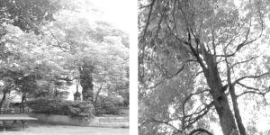 图1 院内的大樟树