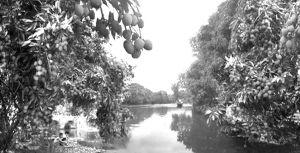 图2-11 漫山遍野的莆田荔枝