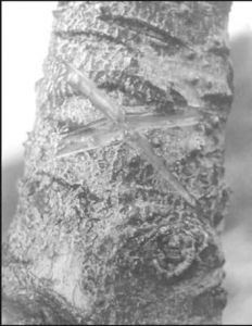 图2-1 树木插星示意此树已有主人