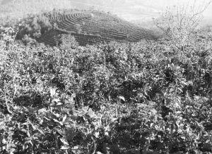 图4-3 漫山遍野的茶树