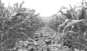 图6-11 玉米地套种大豆