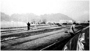 图4-4 村民各自在茄秧地上劳作(2003年11月摄)