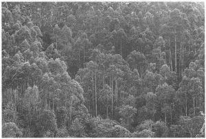 新营造的桉树林