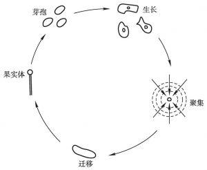 图2-2 黏菌聚集过程示意图