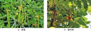 图6 红树植物举例